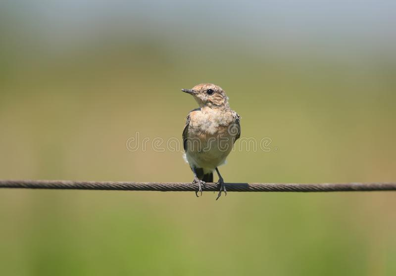 Portrait of a northern wheatear or wheatear Oenanthe oenanthe on the wire. royalty free stock photos