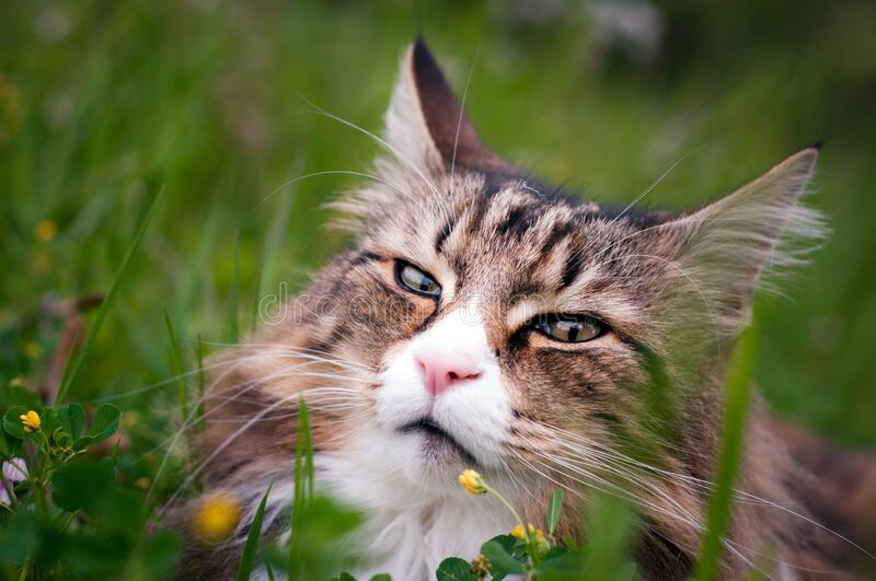 Portrait of a norwegian forest cat lying in a meadow. Portrait of a beautiful norwegian forest cat lying in a meadow stock photography