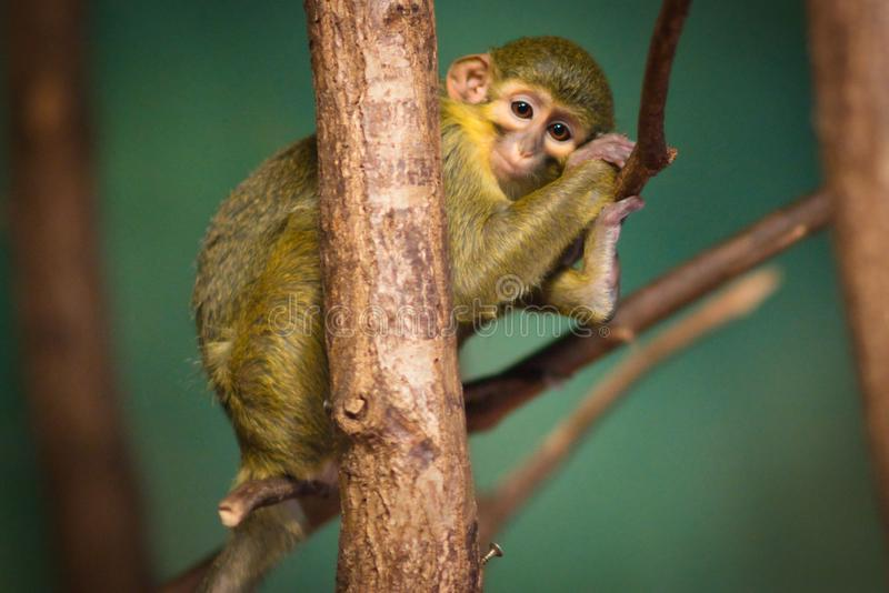 Portrait of Nothern talapoin monkey royalty free stock photos