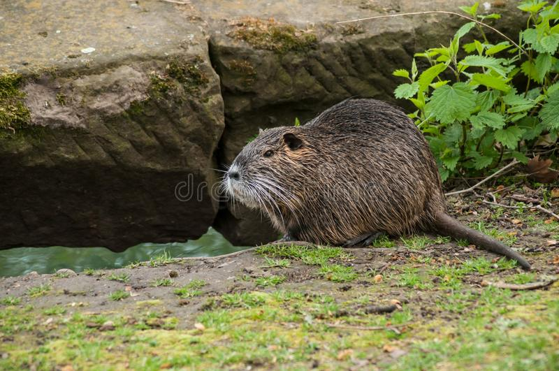 Nutria in the grass in border river royalty free stock photos