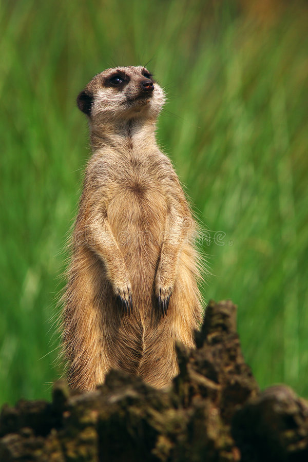 Free Portrait Of A Curious Meerkat Royalty Free Stock Image - 8307966