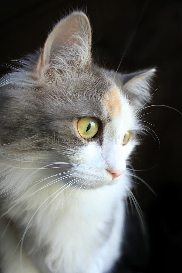 Free Portrait Of A Curious Three Colored, White, Grey And Ginger Cat Looking On Something On Black Background Royalty Free Stock Images - 170883129