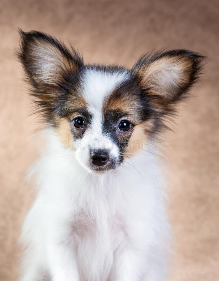 Free Portrait Of A Cute Puppy Papillon Stock Images - 62238024