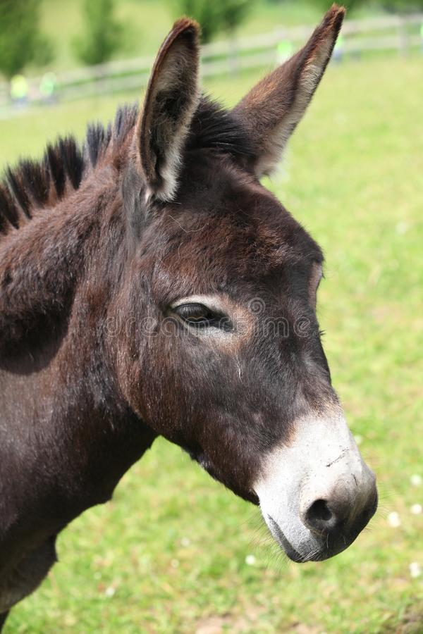 Free Portrait Of A Donkey. Royalty Free Stock Images - 19665719