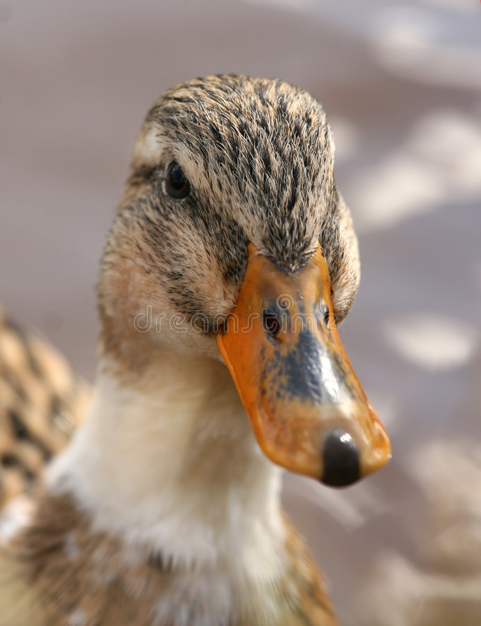 Free Portrait Of A Duck Stock Image - 5217311
