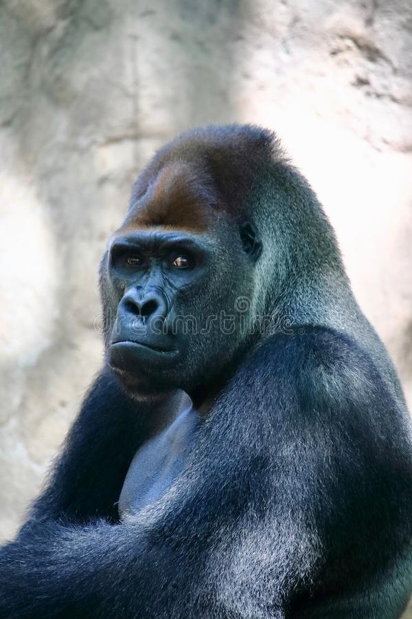 Free Portrait Of A Huge Silverback Gorilla. This Amazing Primate Can Only Be Found In Rwanda And Uganda, National Nature Reserves Stock Photo - 122070680
