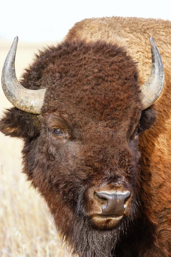 Free Portrait Of A Male Bison, Grand Teton National Park, Wyoming Royalty Free Stock Photography - 180433377