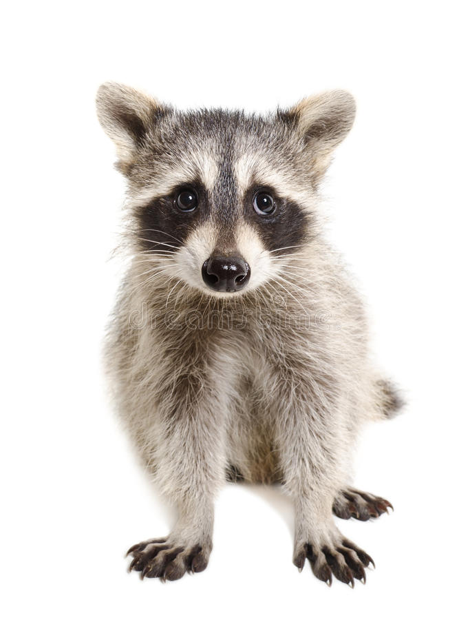Free Portrait Of A Raccoon Royalty Free Stock Image - 58297516