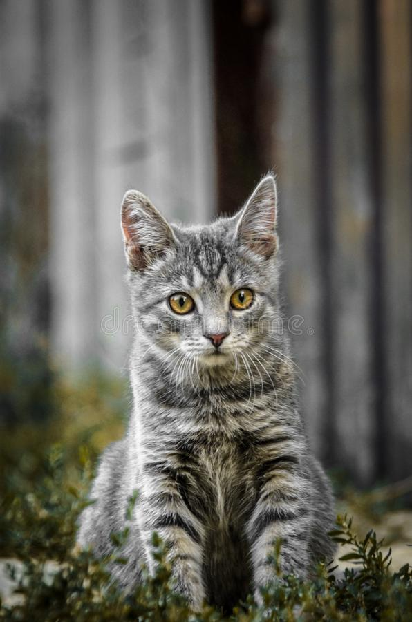 Free Portrait Of A Surprised Gray Tabby Kitten In Restrained Colors Royalty Free Stock Image - 157599786