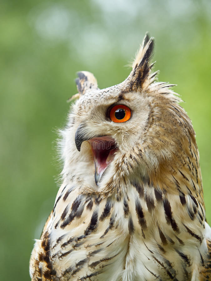Free Portrait Of An Eagle Owl Stock Image - 51846001