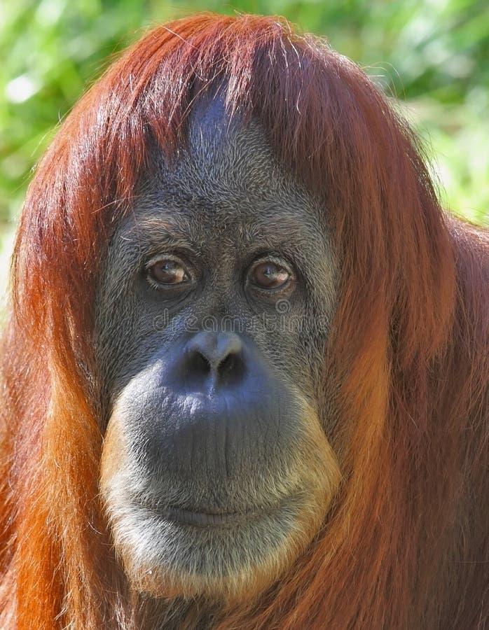 Free Portrait Of An Orangutan Up Close Stock Photography - 21871212