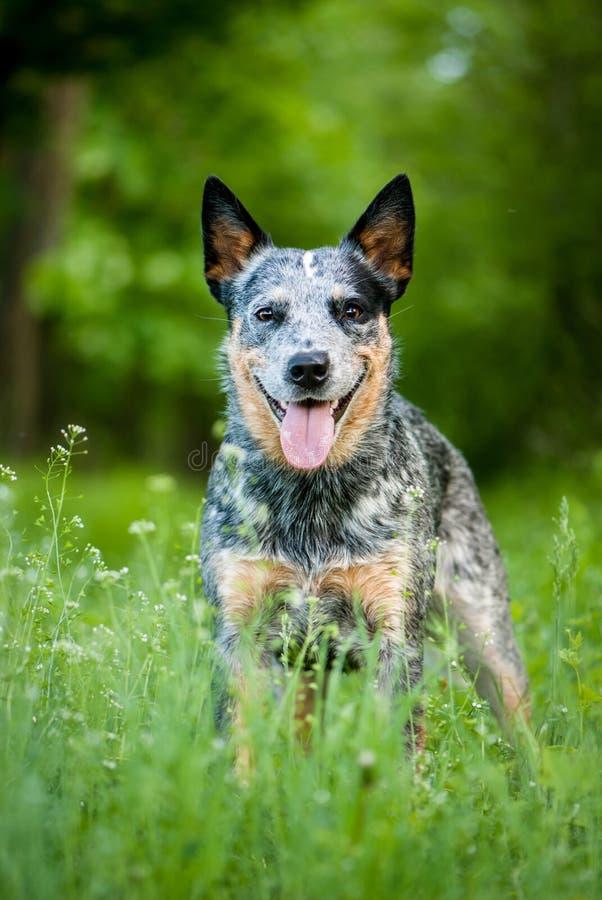 Free Portrait Of Australian Cattle Dog Stock Images - 54436644