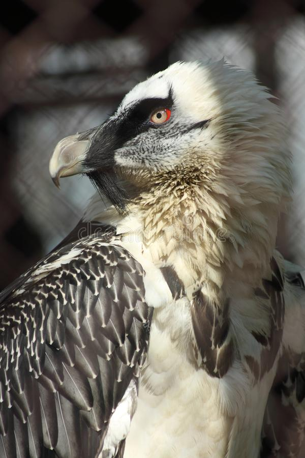 Free Portrait Of Bearded Vulture Royalty Free Stock Image - 116171036