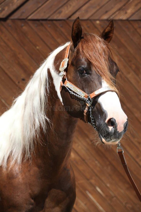 Free Portrait Of Beautiful Paint Horse Stallion Stock Photography - 74946112