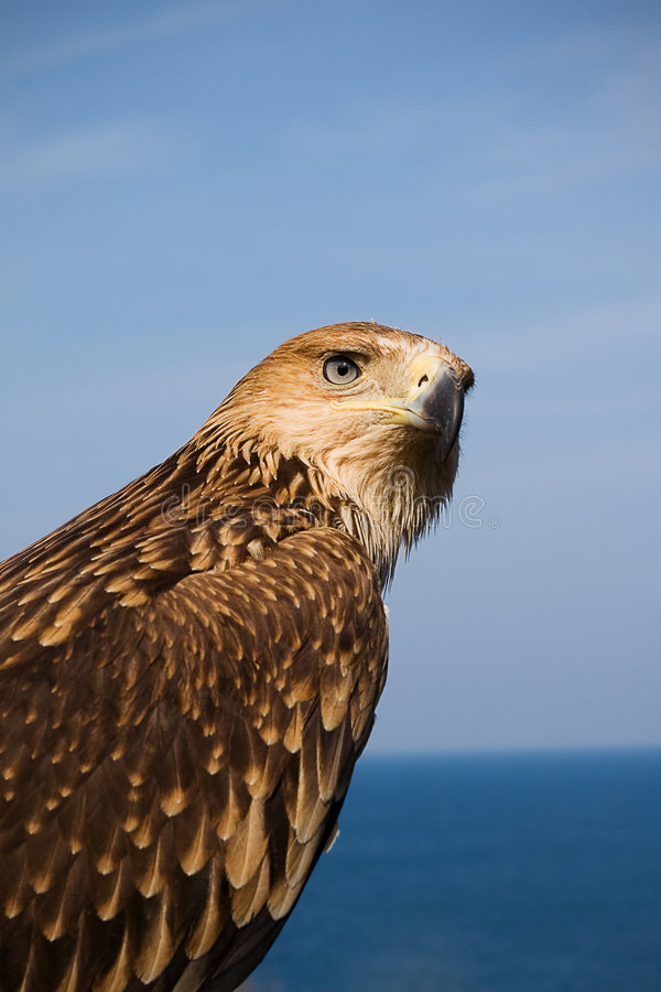 Free Portrait Of Eagle Royalty Free Stock Images - 9118969