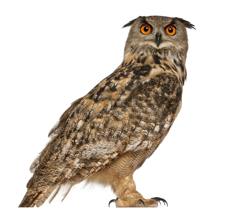 Free Portrait Of Eurasian Eagle-Owl Royalty Free Stock Photography - 24708697