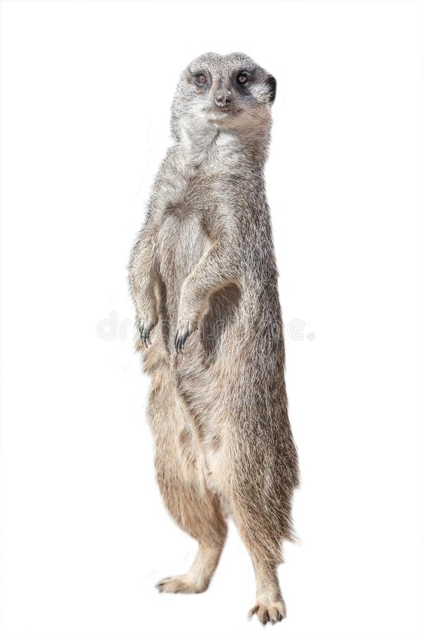 Free Portrait Of Playful And Curious Suricate Meerkat Isolated At White Background Stock Images - 146384734