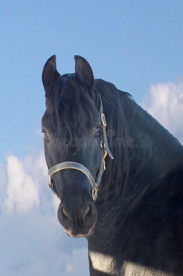 Free Portrait Of The Black Horse Stock Photo - 4096210