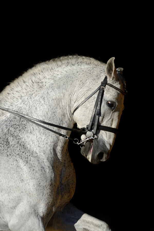 Free Portrait Of The White Sport Horse Royalty Free Stock Images - 40293719