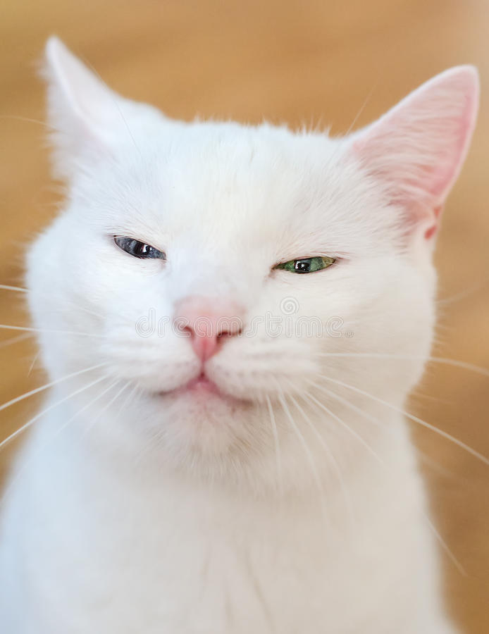 Free Portrait Of White Funny Cat Royalty Free Stock Image - 32318036