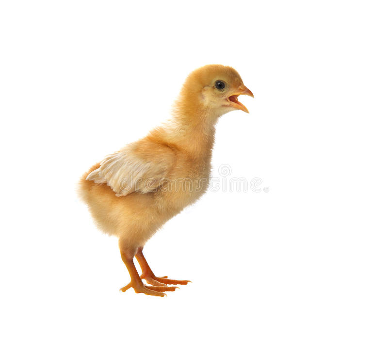 Free Portrait Of Young Baby Chick Standing And Open Mouth For Calling Stock Photography - 38115932