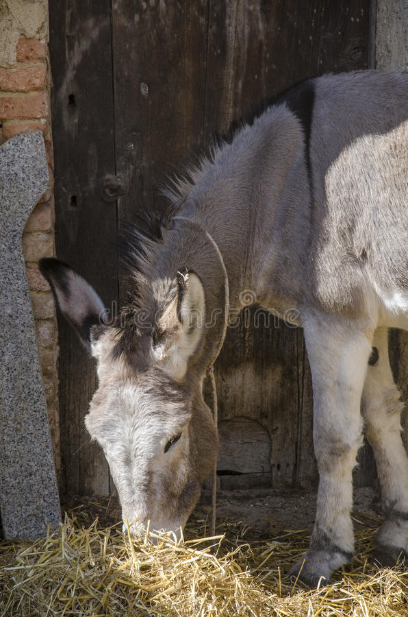 Free Portrait Of Young Donkey Eats Hay Sun-kissed With The Door And T Stock Photos - 49328243