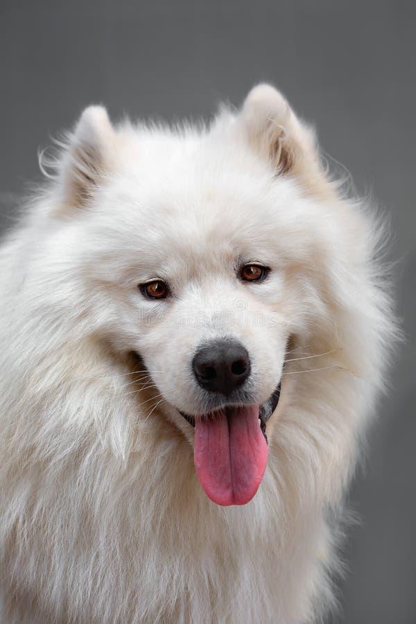 Portrait ofl dog - Samoyed. Portrait of a beautiful dog breed - Samoyed stock photos