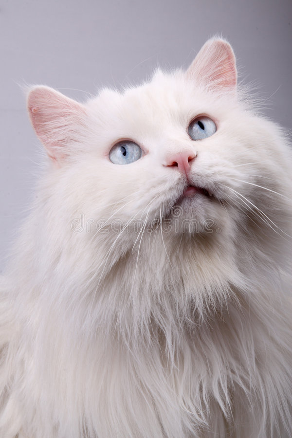 Download Portrait of the old cat. stock image. Image of companion - 7134735