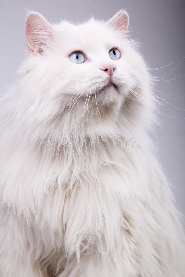 Portrait Of The Old Cat Stock Photos