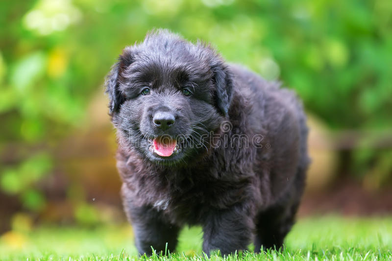 Portrait of an Old German Shepherd puppy. Portrait picture of an Old German Shepherd puppy stock photo