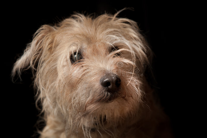 portrait of old hairy dog stock photo. image of domestic - 8835772
