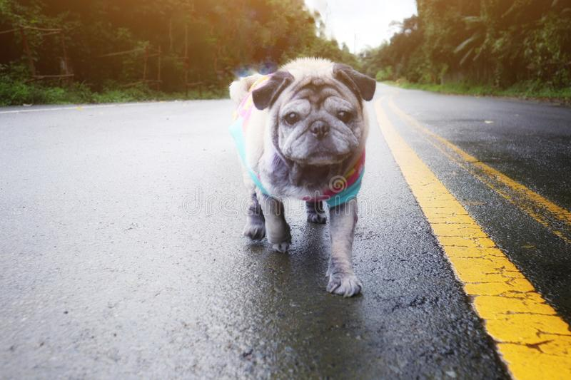 Portrait of an old pug dog walking on a forest road in a funny nature background stock photos