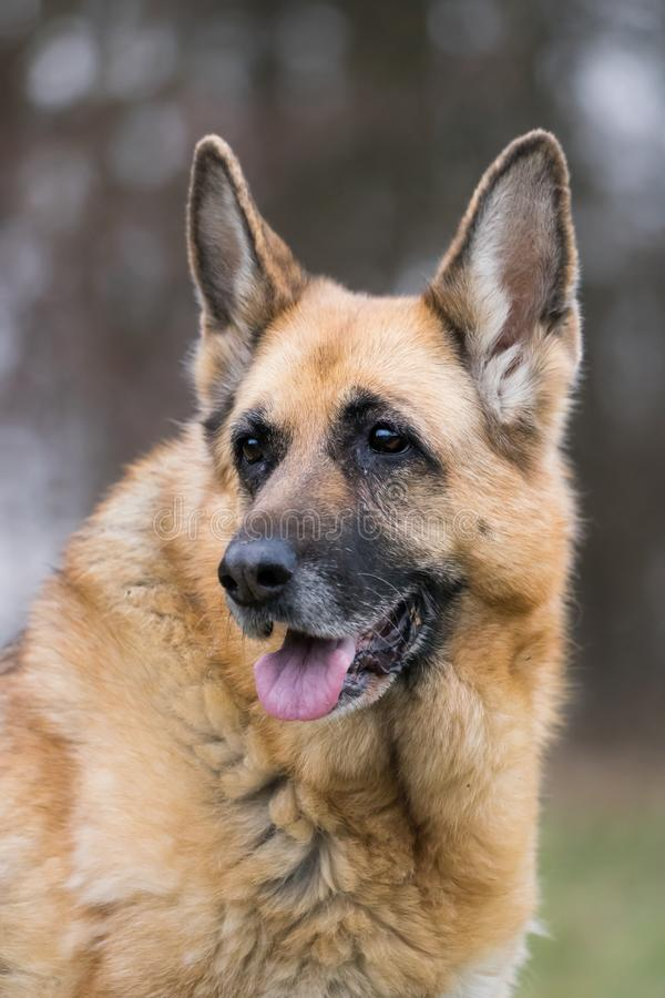 Portrait of a old senior german shepherd dog royalty free stock photography