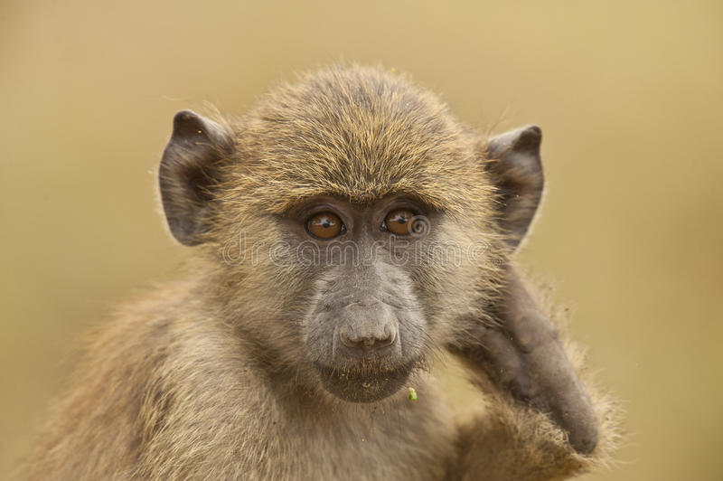 Download Portrait Of An Olive Baboon Stock Photo - Image of monkey, national: 25697136