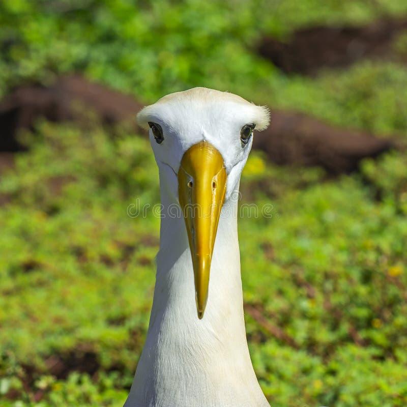 Portrait ondul? d'albatros, ?le d'Espanola, Galapagos images stock