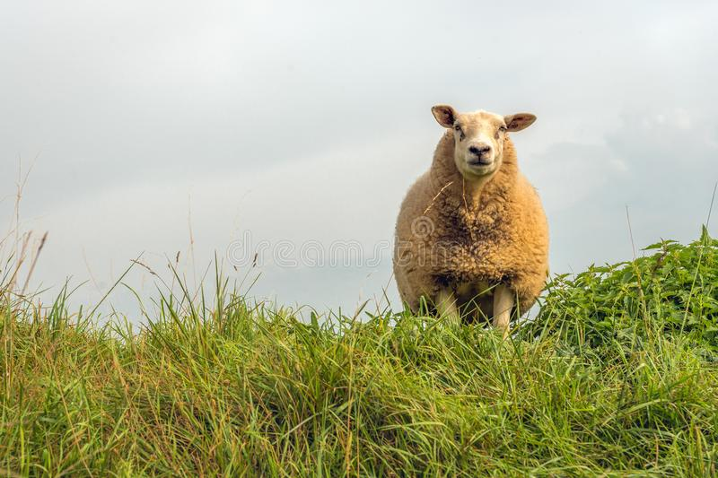 Portrait of one sheep. Portrait of a curiously looking sheep with a thick coat against a cloudy sky. The sheep stands on top of a Dutch dike. It is summer now royalty free stock image