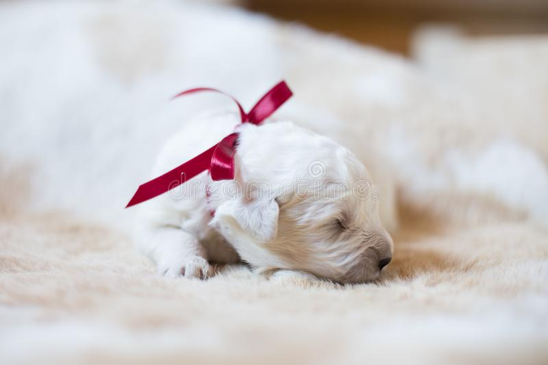 Portrait of one week old maremma puppy sleeping on the cow's fur. Sweet white pup looks like a bear. Portrait of one week old maremma puppy with red ribbon stock image