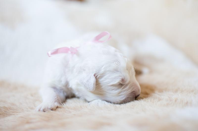 Portrait of one week old maremma puppy sleeping on the cow& x27;s fur. Sweet white pup looks like a bear. Portrait of one week old maremma puppy sleeping on the royalty free stock photos