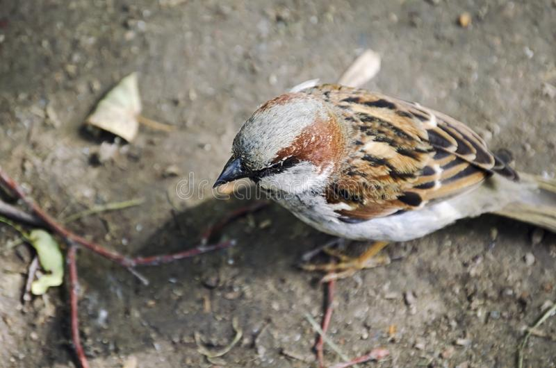 Portrait of an ordinary Sparrow.  royalty free stock photo