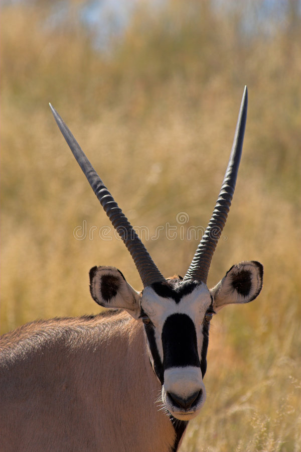 Portrait of an oryx stock images