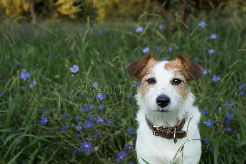 PORTRAIT OS A CUTE JACK RUSSELL DOG LOOKING THE CAMERA WITH VIOL stock image