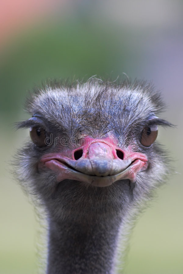 Download Portrait of an ostrich stock photo. Image of camelus, bill - 1595798