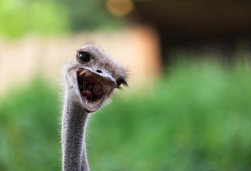 Portrait of an ostrich royalty free stock photos