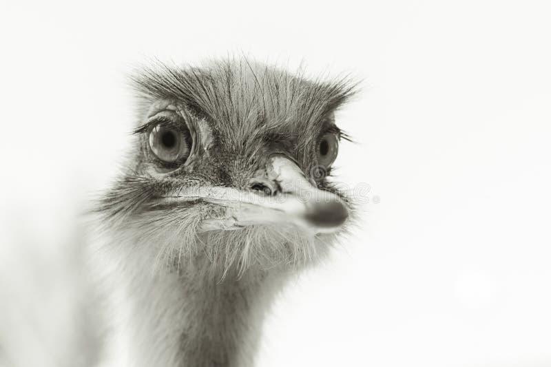 Portrait of an ostrich stock photos