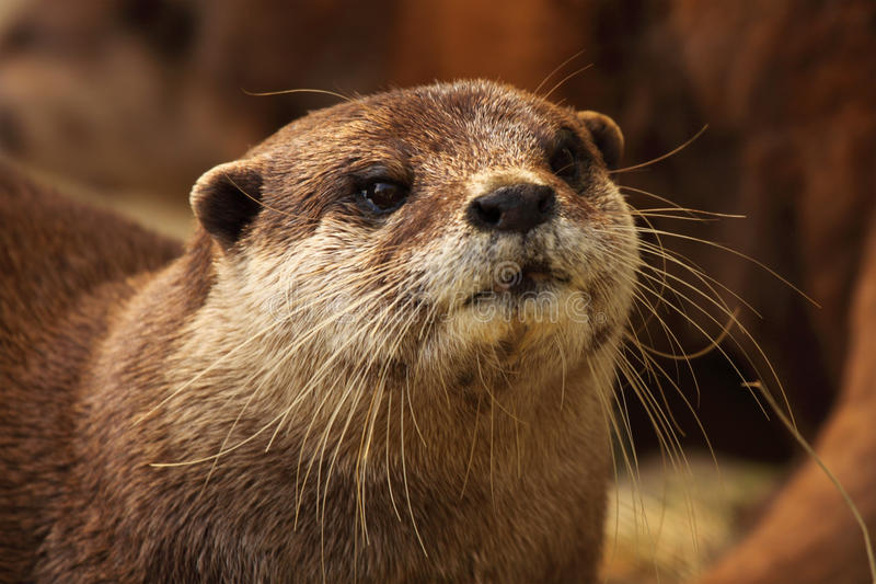 Portrait Of Otter royalty free stock images
