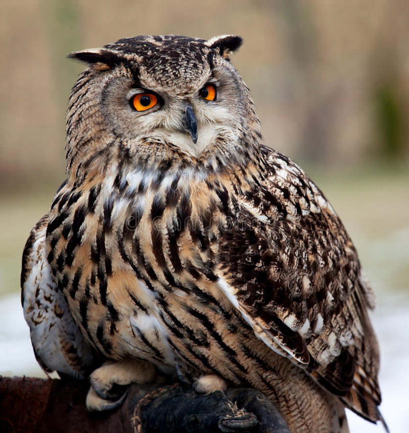 Download Portrait of an owl stock photo. Image of wildlife, nature - 12729336