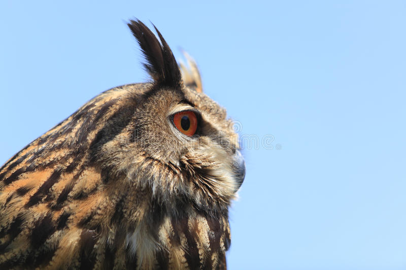 Portrait of an owl. Close-up image of an eagle owl against a blue background royalty free stock images