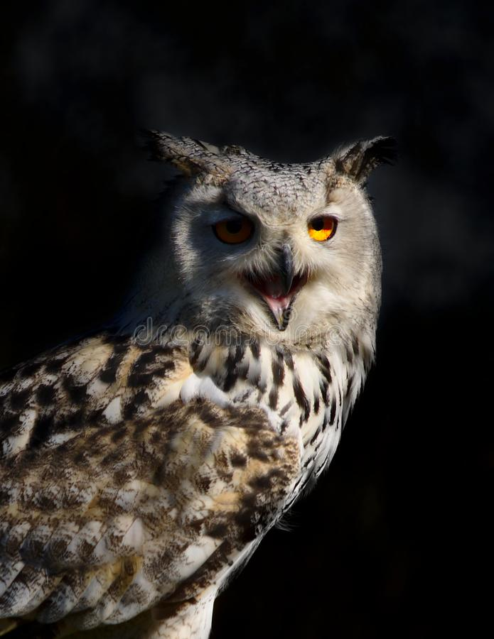 Portrait of an owl royalty free stock photography