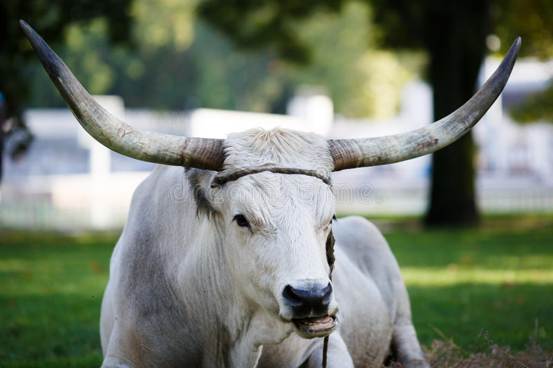 Portrait of Ox stock photography