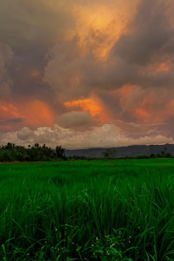 Portrait of Paddy Field Under Sunset stock photos